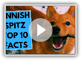 Finnish Spitz - TOP 10 Interesting Facts